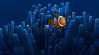 Underwater shot of a clown fish as it swims among coral.