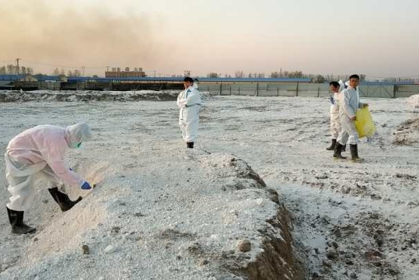 Dead pig burial in China