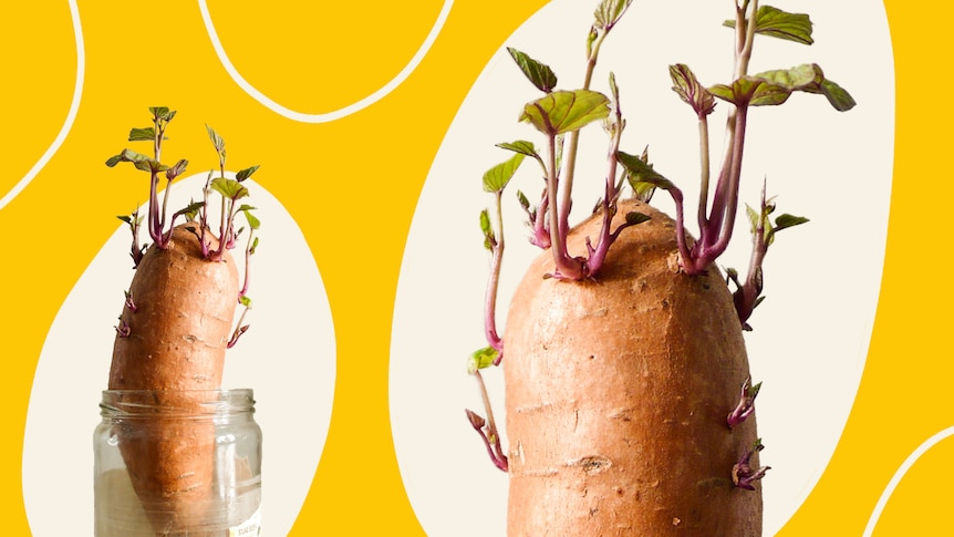 Two sweet potatoes in water in glass jar, sprouting roots and foliage, with a bright yellow background.