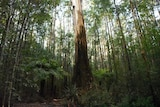 A large tree among much smaller trees in the Toolangi State Forest
