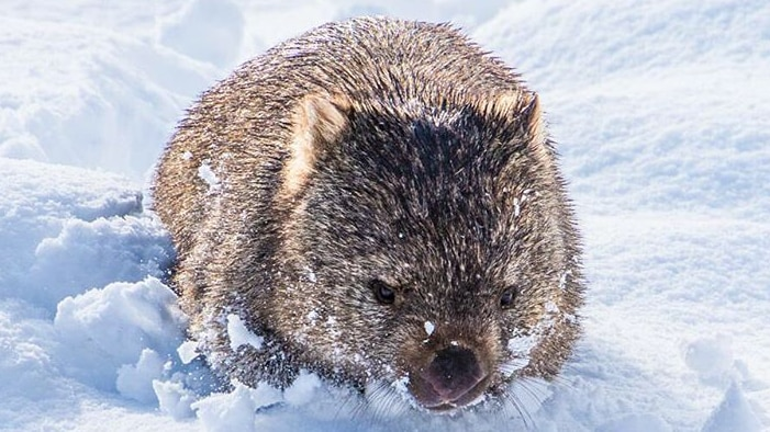 A fluffy grey wombat in thick snow.