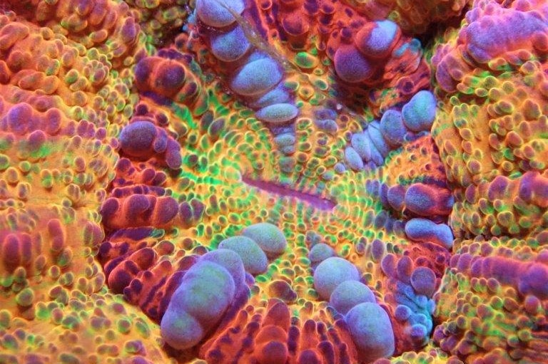 A close up of coral with thousands of tiny, bulbous nodes.