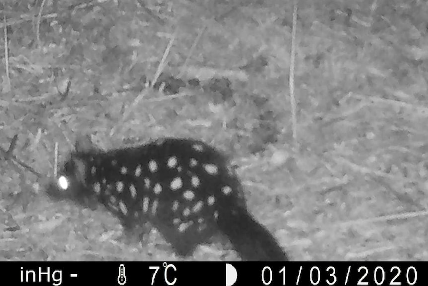 A black and white photograph of a spotted quoll, captured on a night camera