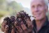 Man, blurred in the background, holding up two handfuls of compost worms.