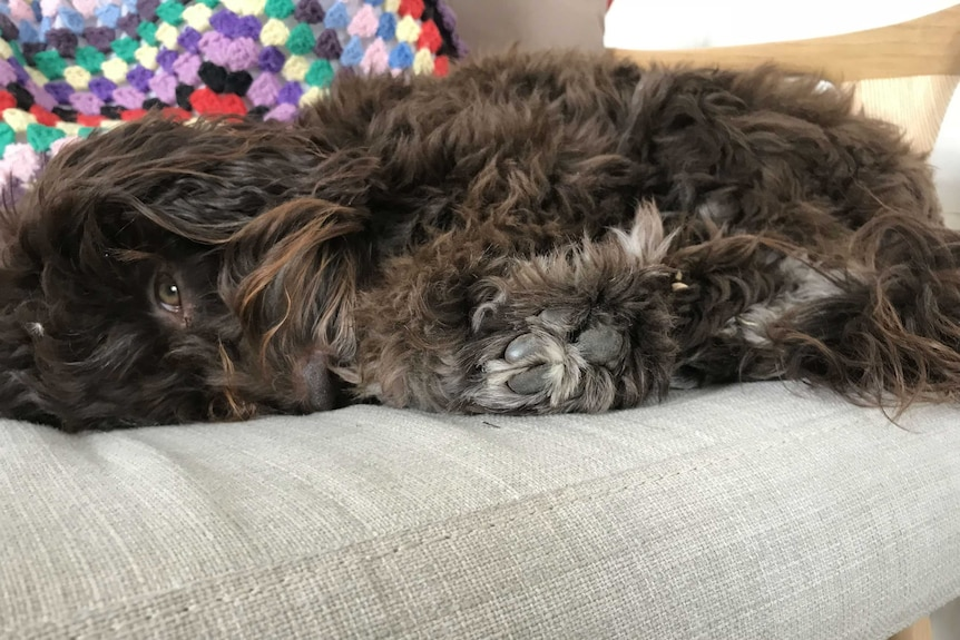 A small, fluffy brown dog lies on a grey couch.