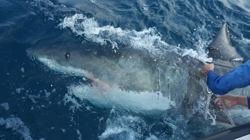 A great white shark just under the surface of the water.