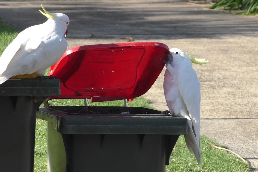 Cockatoo opening garbage bin with another looking on