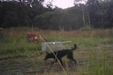 A wild dog walking past a cage trap at Southern Cross University in Lismore