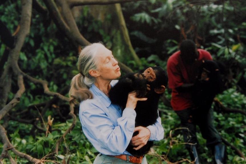 Jane Goodall holds an chimpanzee in the forest.