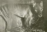 A captive Tasmanian Tiger