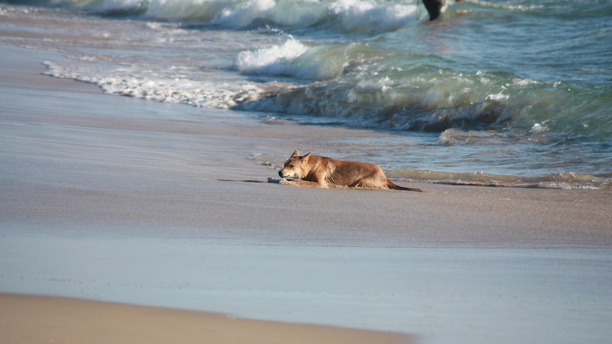 Fraser Island set to receive $2m dingo-proof fence in bid to curb attacks on visitors