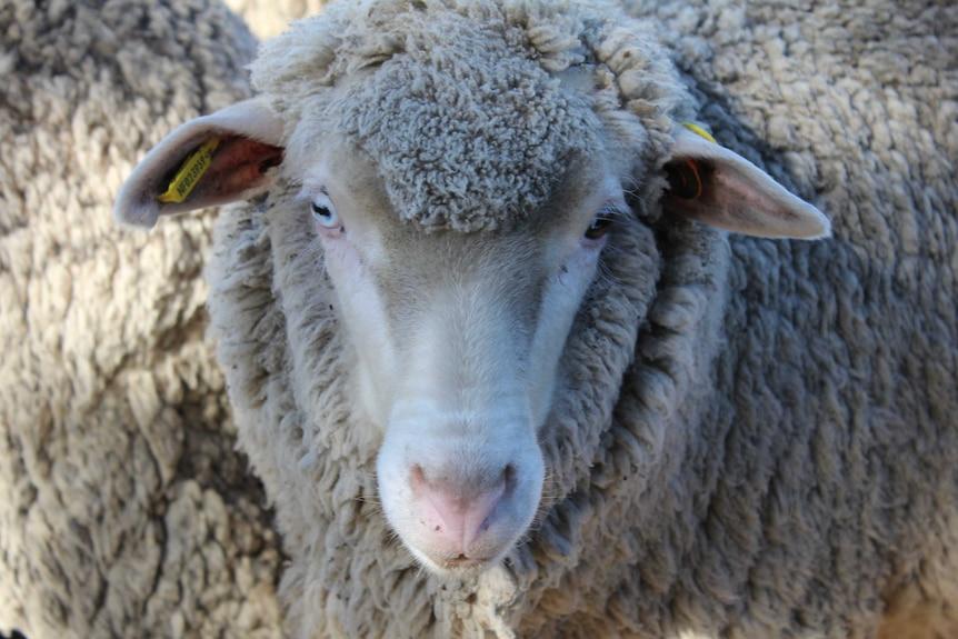 Close up Merino sheep