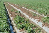 A field of strawberries infested with Fusarium wilt