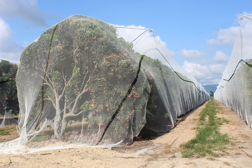 Lychee nets in North Queensland are used to prevent flying fox damage