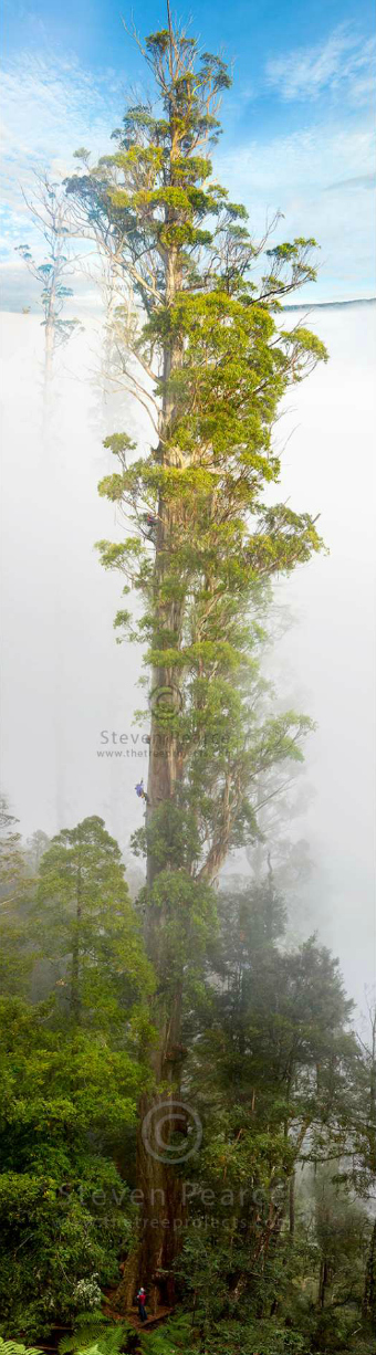 Eucalyptus regnans in the Styx Valley
