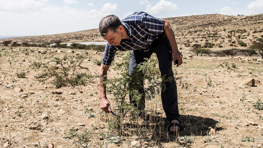 Tony Rinaudo clips a plant growing in a dry field.
