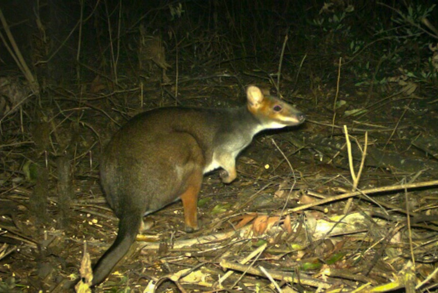 A red and grey marsupial standing in a burnt forest sniffs the air.
