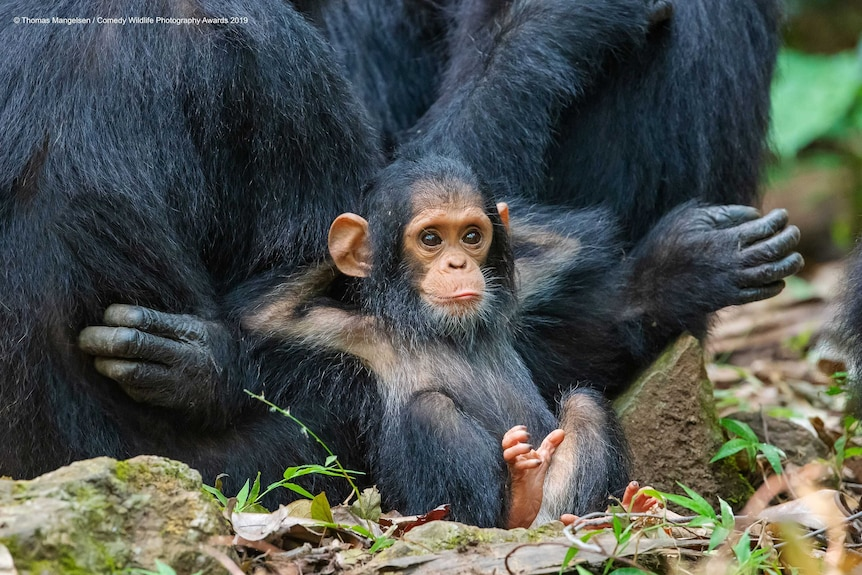 An infant chimpanzee sits back with its hands behind it's head, leaning on a larger chimp and looking very relaxed.