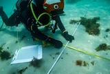 A diver holds two measuring tapes under water