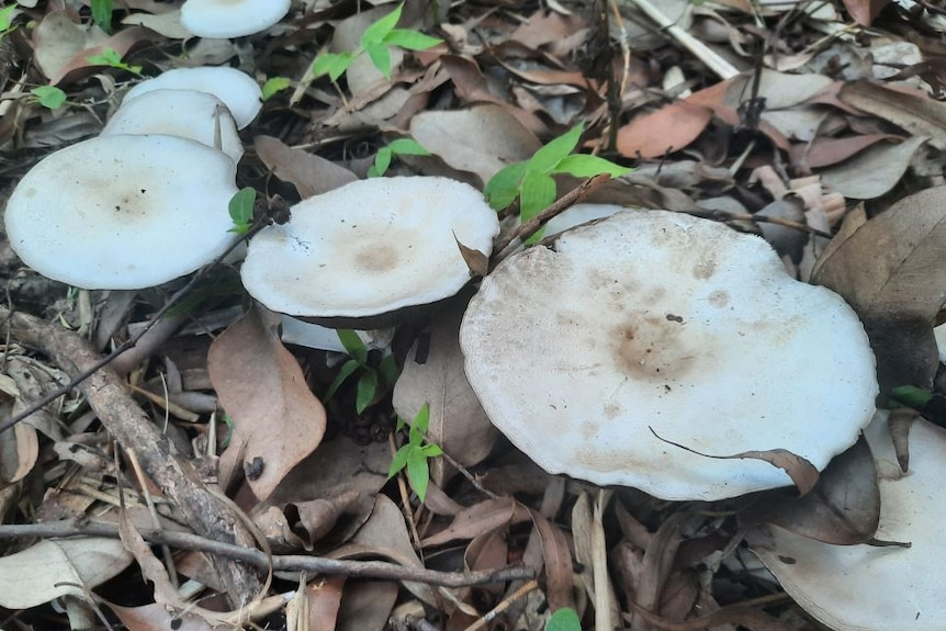 White mushroom shaped fungi growing on earth. There are leaves and sticks on the ground