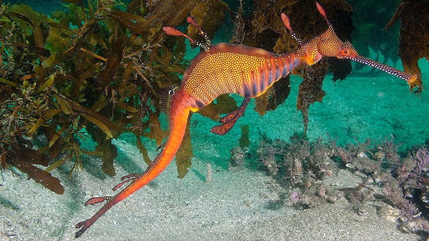 An orange, spotted weedy seadragon in front of some seaweed.
