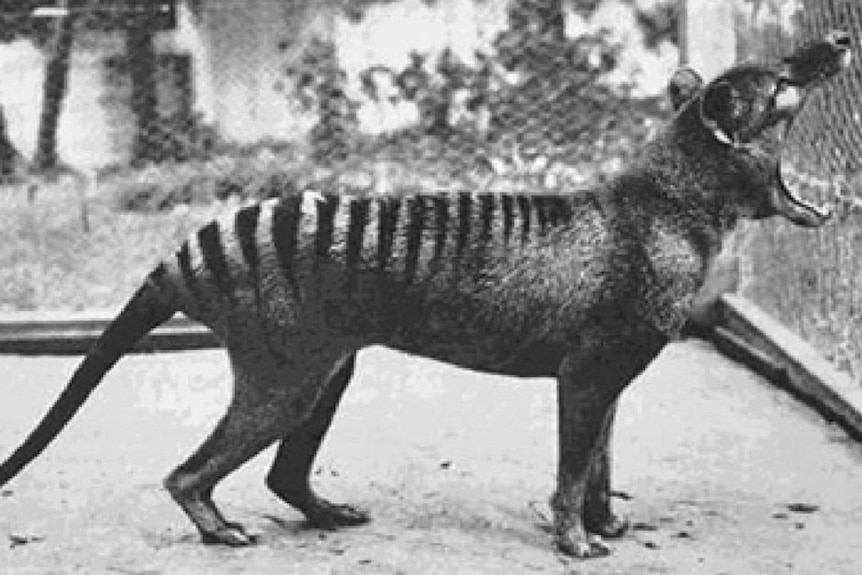 Benjamin, the last thylacine in captivity, standing with mouth open at Beaumaris Zoo Hobart in 1933