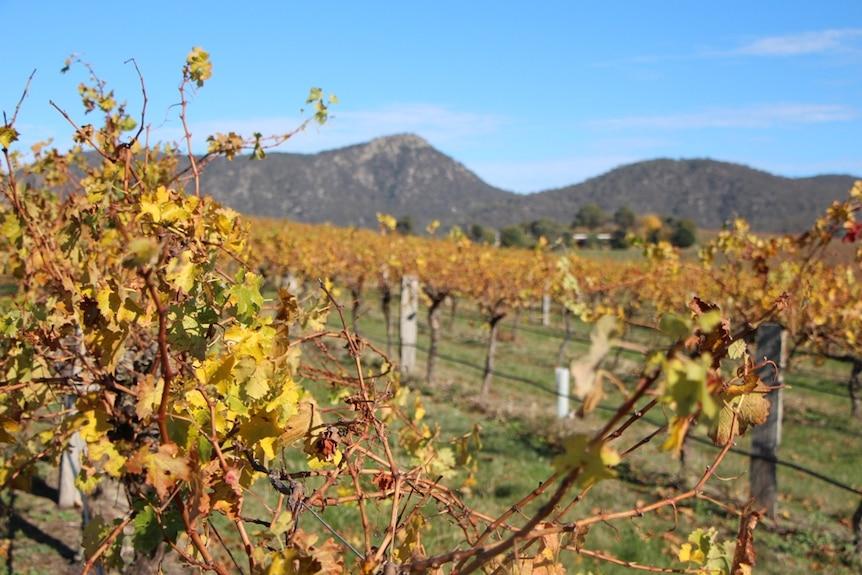 An autumnal coloured vineyard