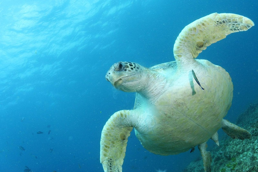 A green turtle in clear blue water.