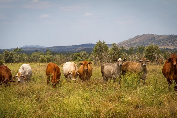 Cattle on the Lawrie property.