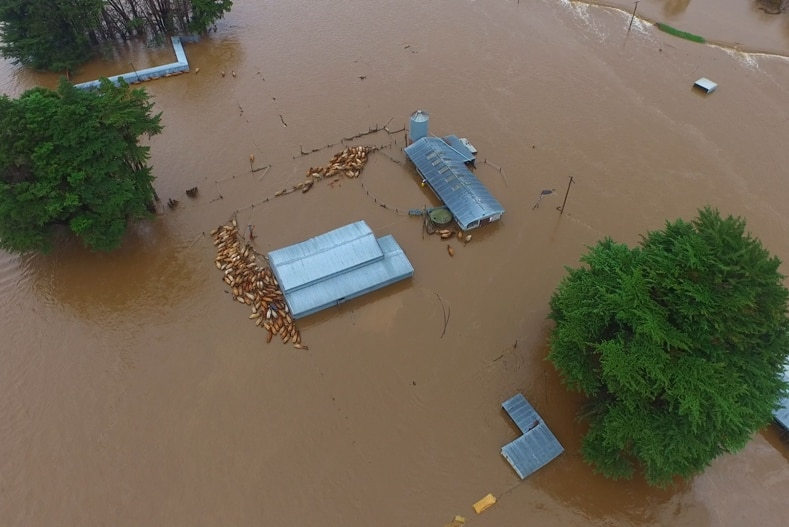 Cattle bunched near a building in floodwaters.