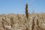South Australia's big grain harvest has created ideal conditions for a mouse plague.