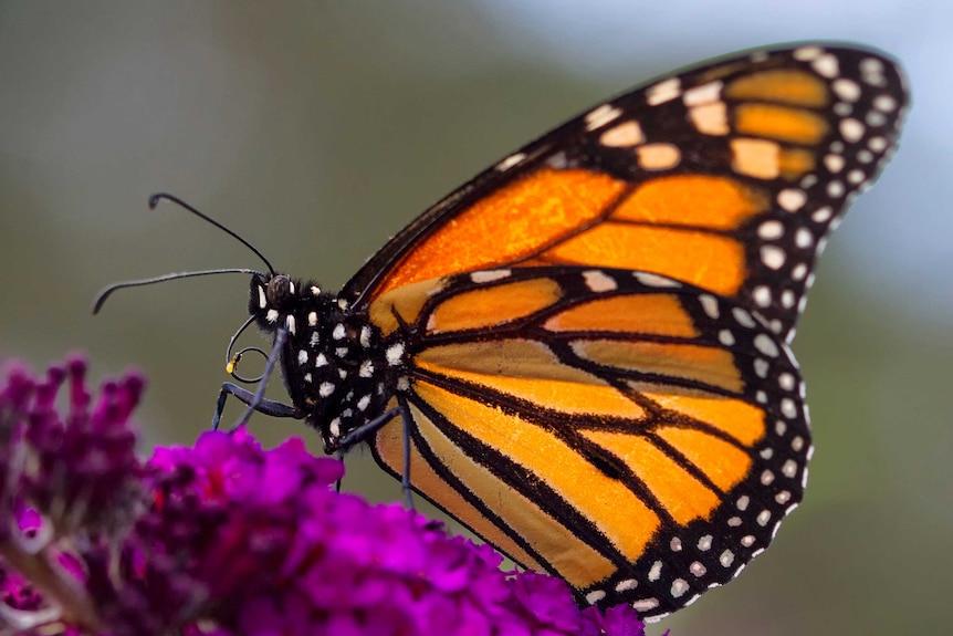 A monarch butterfly lands on a purple flower