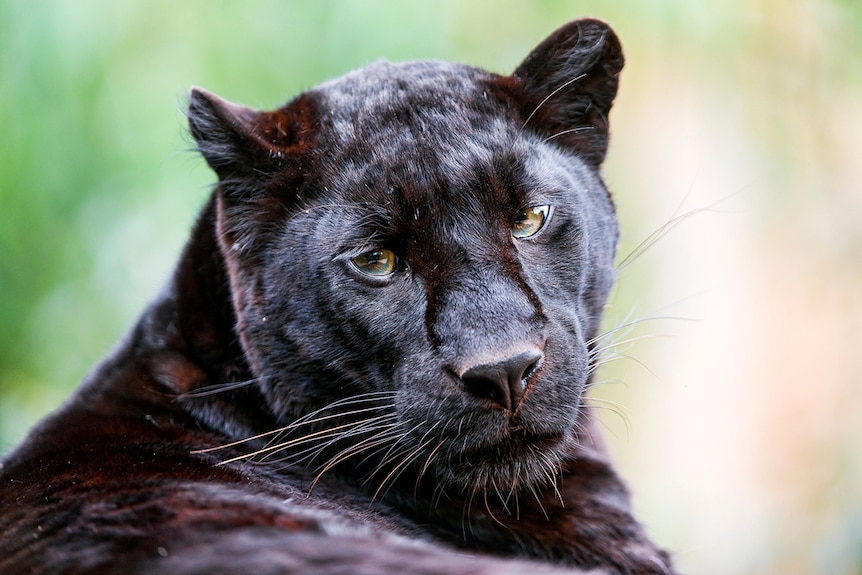 A black panther sitting down in the sun, looking after over its body towards the camera.