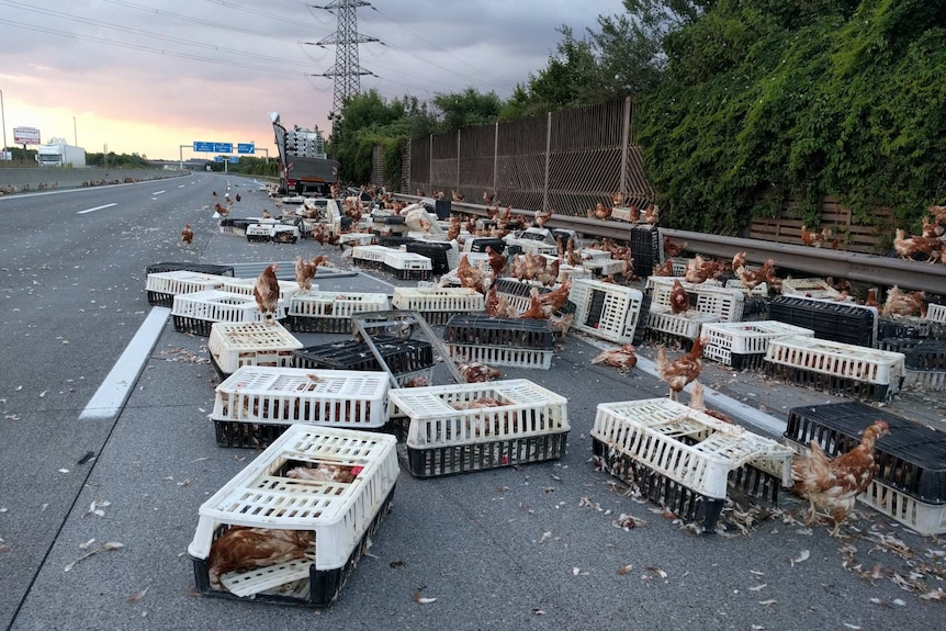 Hundreds of chickens and crates sprawled across motorway south of Linz, Austria.
