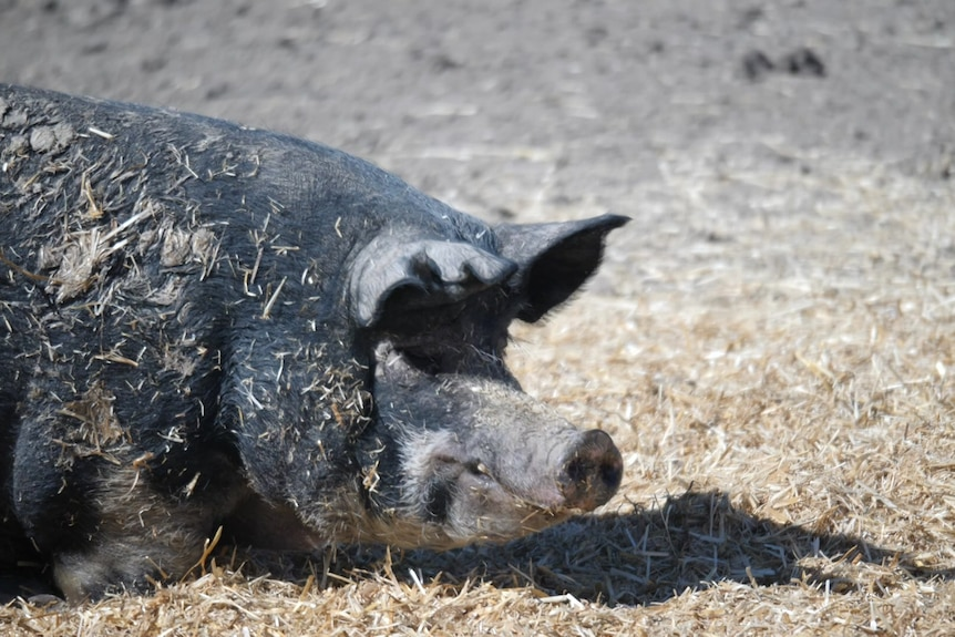 A large pig is laying on the ground around hay.