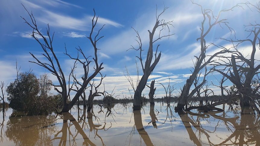 Trees in clear water in front of a blue sky with whispy clouds.