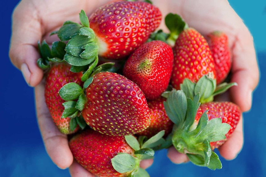 A person holds a handful of ripe strawberries, for a story about storing and cooking with the berries.