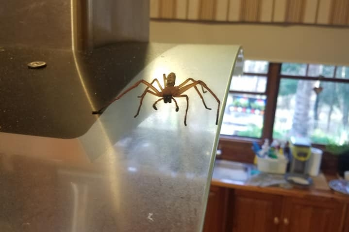 A huntsman spider on the rangehood of a stove in a kitchen