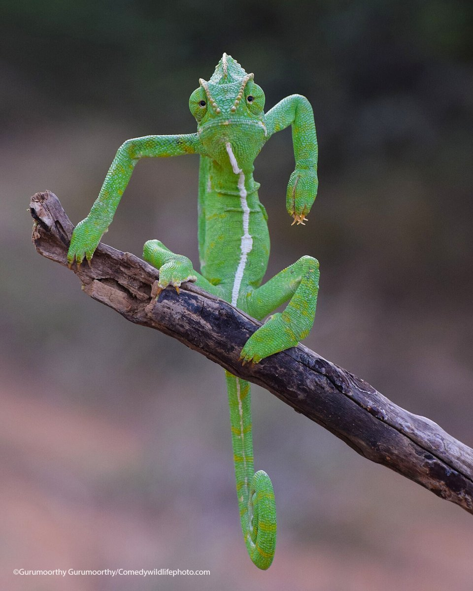 A green chameleon appears to pose on a stick in a strange way.