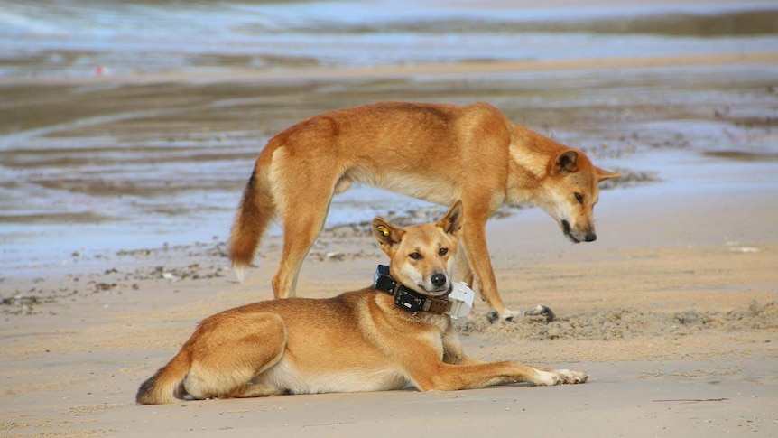 Two dingoes on the beach at Fraser Island, with one wearing a GPS tracking collar.