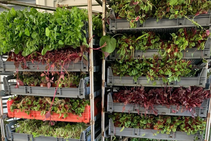 Trays of microgreens stacked in two rollers.
