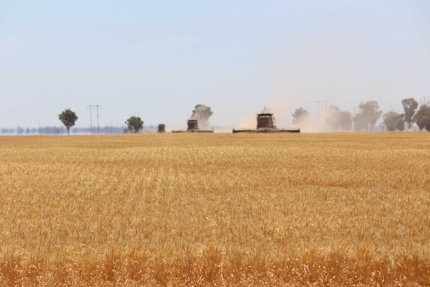 A golden wheat crop in the foreground with three red headers in the background harvesting the crop.