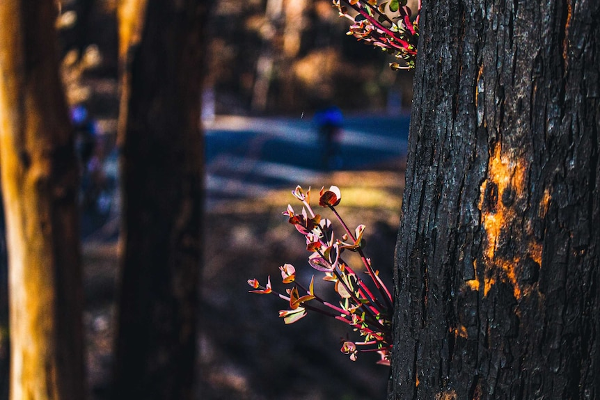 Regrowth on a tree after a bushfire.