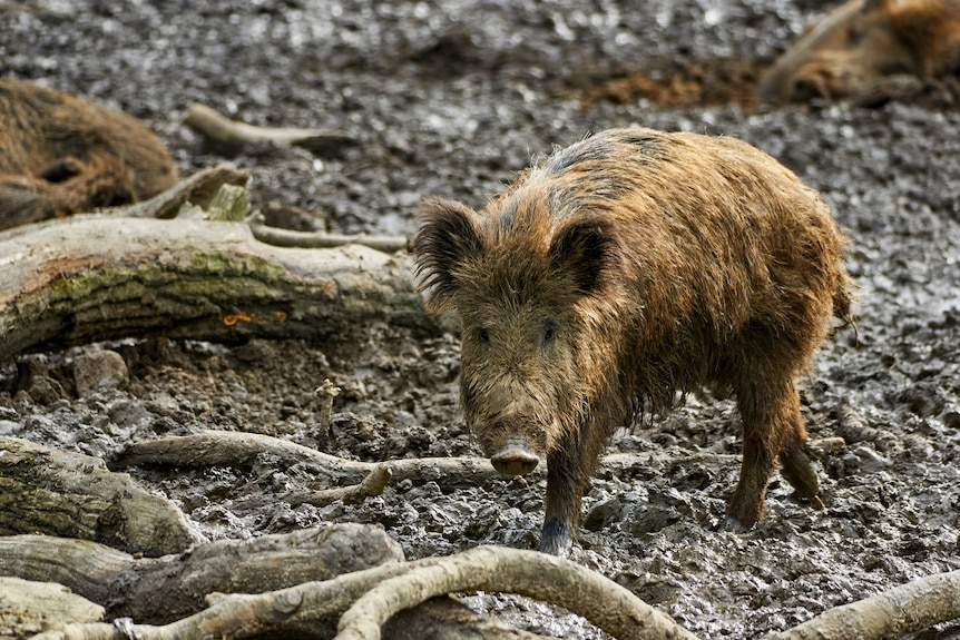 A light-brown half-grown feral pig stands in mud.