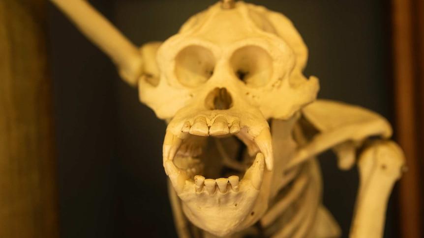 Skeleton of George the orangutan