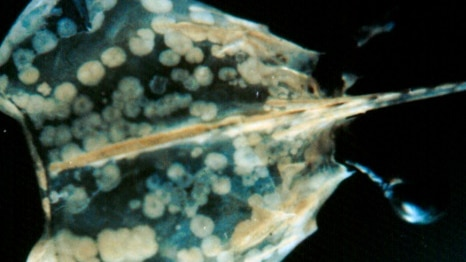White spot disease in giant black tiger prawn, showing classic white spots on the carapace.