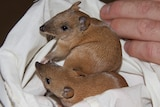 Two baby golden bandicoots.
