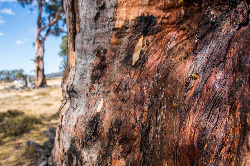 Bees drink the sap off the trunk of a healthy Miena cider gum.