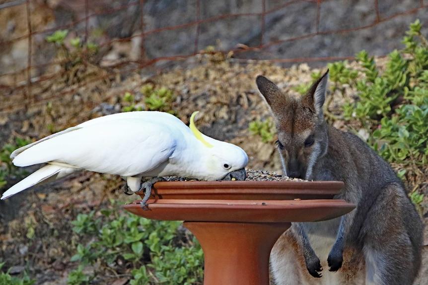 A cockatoo and a kangaroo both feed from a bird feeder