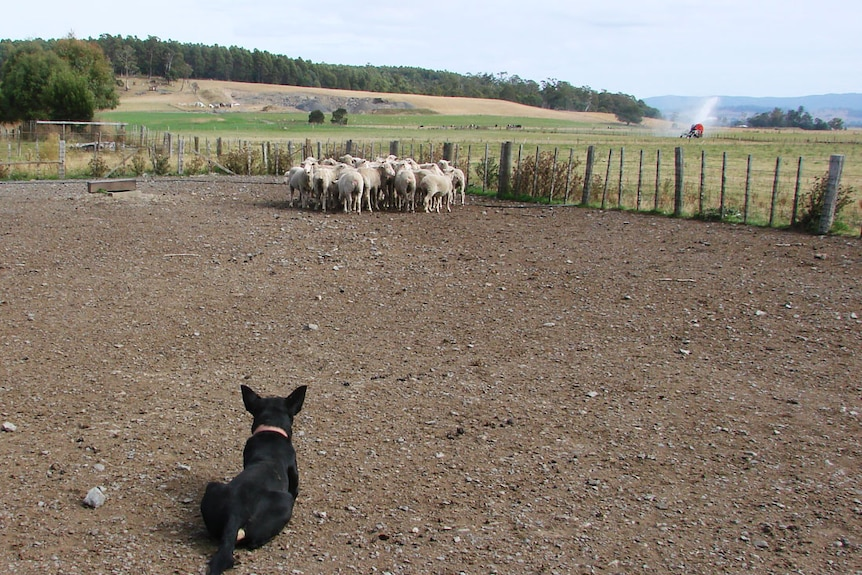 Black kelpie lies down before a small mob of sheep in the yard paddock at the Chilcott's Meander dairy